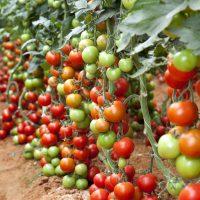 Organic Tomatoe Growing Medium