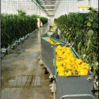 wanted greenhouse pepper harvesting bins